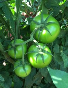 Tomato SV3725TH
